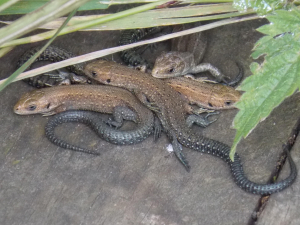 4 Common Lizards
