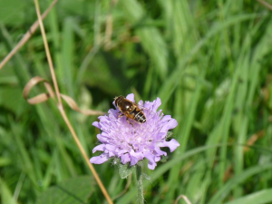 Hoverfly sp