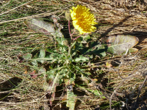 Sow-thistle sp