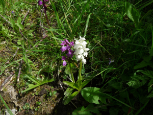 White form of Early-purple Orchid?