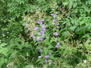 Which Bellflower species?