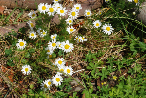 Scented Mayweed ?