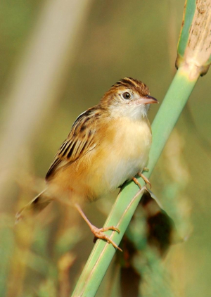 Zitting Cisticola or Streaked Fantail Warbler