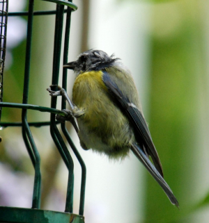 Blue-tit with sad-looking head