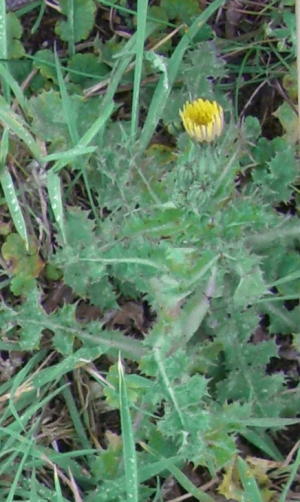 Yellow-flowered thistle