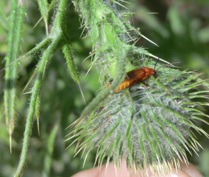 Orange insect found on spear thistle