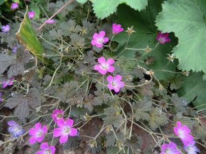 Red-leaved cranesbill