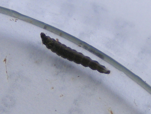 Aquatic Larva