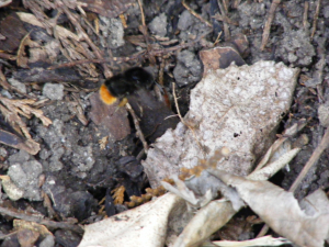 Bumble Bee entering nest