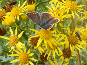 Brown Argus or female Common Blue