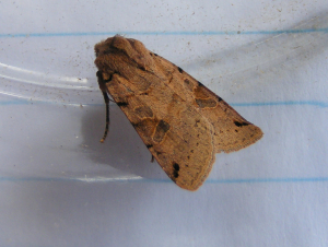Brown-spot pinion moth