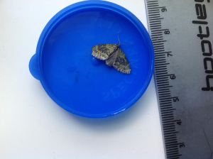 Mystery carpet type moth