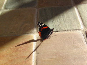 Brynna Red Admiral late oct2013 001