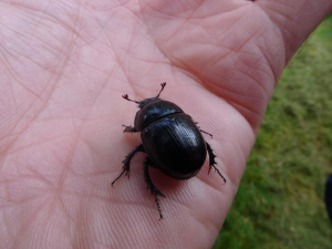 Mystery ground beetle