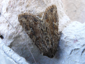 Unknown noctuid
