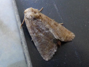 Tawny Marbled Minor?
