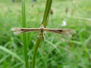 Unknown plume moth?