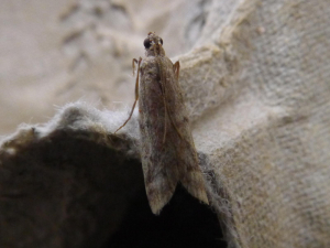 Unknown micro-moth