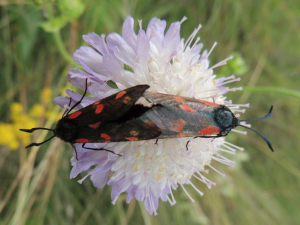 Six-spot Burnet on Field Scabious