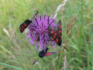 Six-spot Burnet on Greater Knapweed