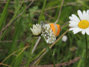 Orange-tip on Daisy
