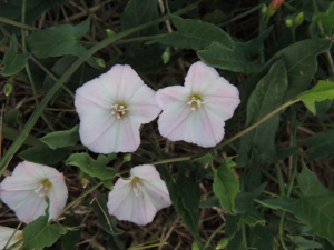 Field Bindweed on road verge