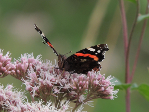 Red Admiral on Hemp-agrimony