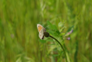 Small Brown butterfly in the Vendee