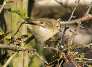 goldcrest in hawthorn bush