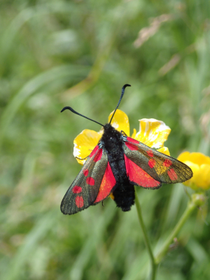 Moth Six-Spot Burnet