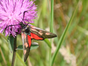 Five Spot Burnet Moth ?