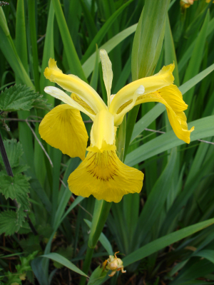 Yellow ( Flag ) Iris