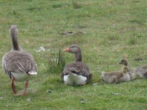 Greylags with goslings