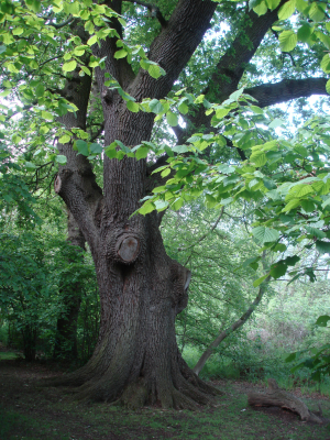 very old elm