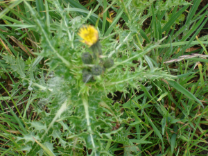 Prickly Sow-thistle