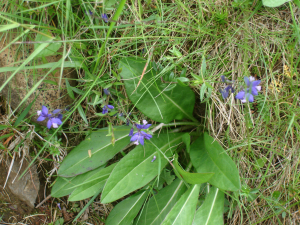 Common Milkwort