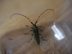 a long horned beetle