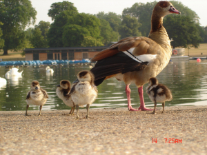 egyption geese