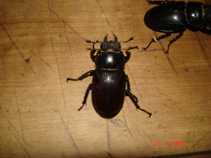 un known beetle