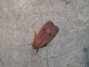 Moth found in the village hall.