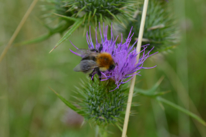 Bombus Muscorum and associated nest.?