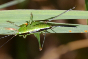 Short winged conehead?