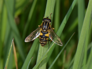Hoverfly, Unsure which.