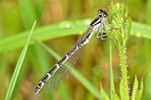 Damselfly, unsure which