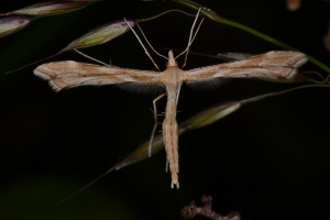 Brown Plume moth
