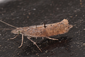 Ypsolopha horridella