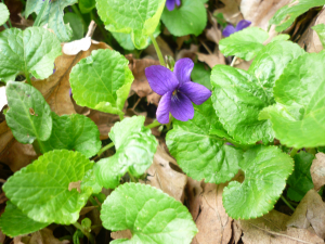 Unidentified Flower, possibly Sweet Violet?