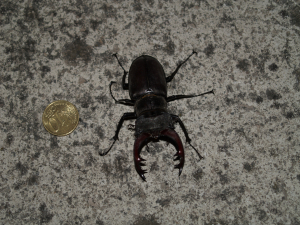 Large beetle from northern Spain