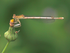Is this a White-legged damselfly?