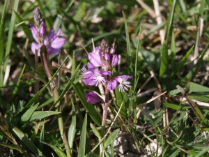 Tiny flower in calcareous grassland